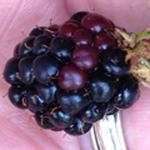 Blackerry-ripening