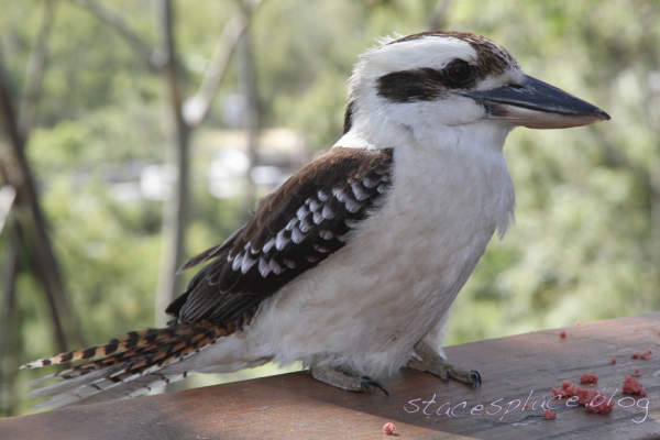 kookaburra at stacesplace.blog