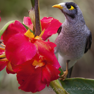 noisy miner, stacesplace.blog